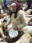 Măsuratul oilor Foto Elvis Dobrescu 2009