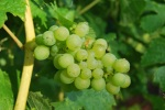 01 TC grape picking blog © 2011 Elvis Dobrescu