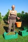 02 TC grape picking blog © 2011 Elvis Dobrescu