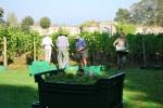 03 TC grape picking blog © 2011 Elvis Dobrescu