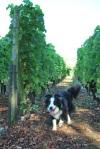 05 TC grape picking blog © 2011 Elvis Dobrescu