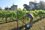 09 TC grape picking blog © 2011 Elvis Dobrescu
