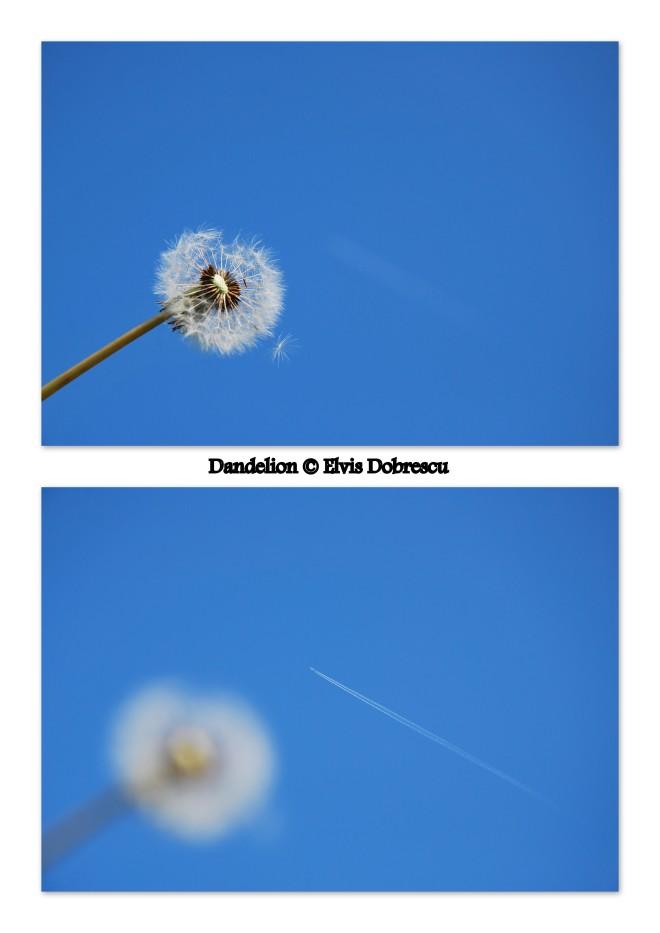 Dandelion © Elvis Dobrescu