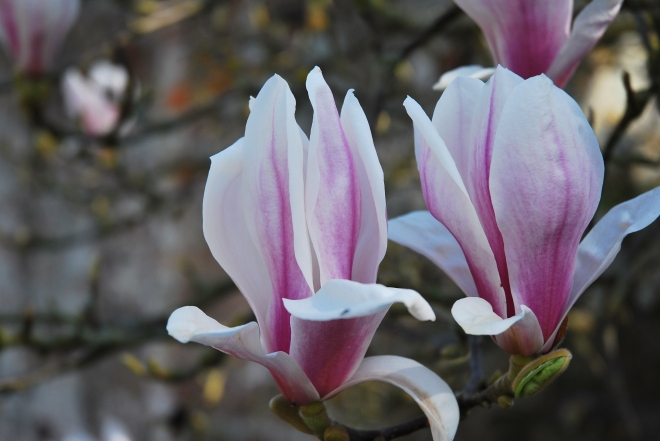 Magnolia (1)