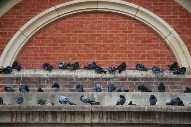 Pigeons © 2010 Elvis Dobrescu
